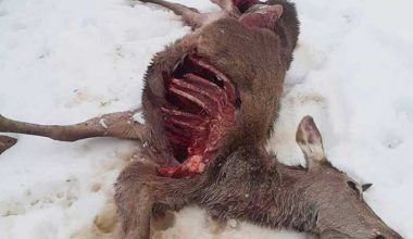 Aç kalan kurtlar geyiği parçaladı