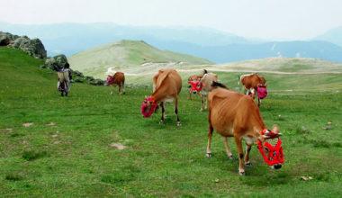 Süt inekçiliğine İŞKUR destekği