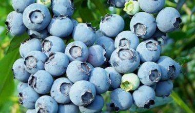 Mavi yemiş ekonomiye destek olacak