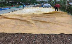 Yağışlar fındık üreticilerini olumsuz etkiliyor